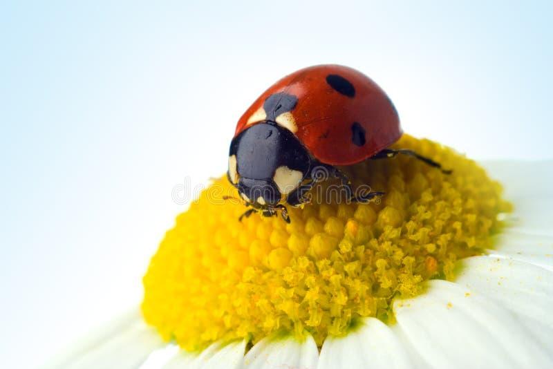 Ladybug sul fiore fotografia stock libera da diritti