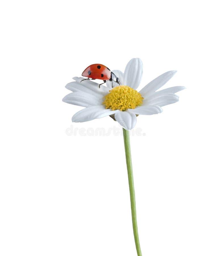 Ladybug sul fiore bianco immagini stock