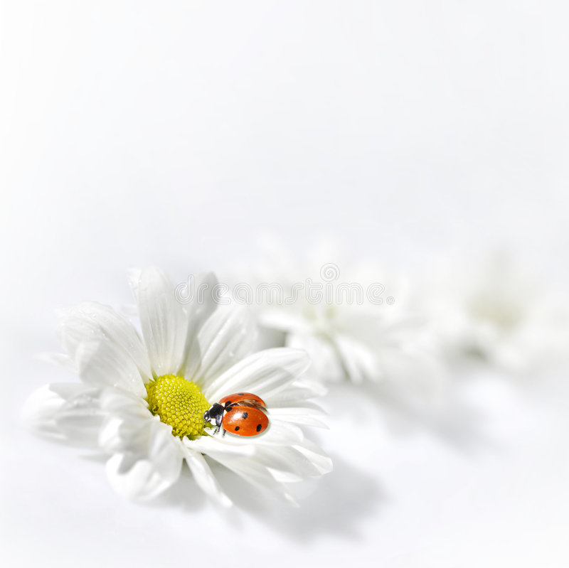 Ladybug sul fiore bianco fotografia stock