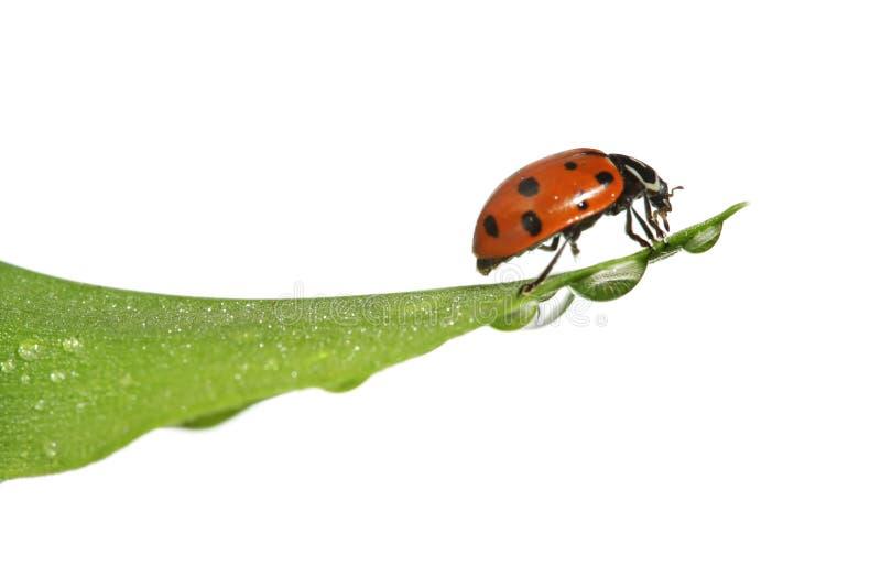 Ladybug sul foglio immagini stock libere da diritti