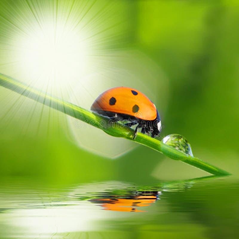 Ladybug sul foglio verde fotografia stock libera da diritti