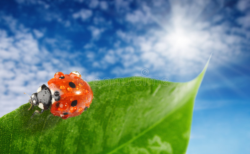 Ladybug sul foglio verde fotografia stock