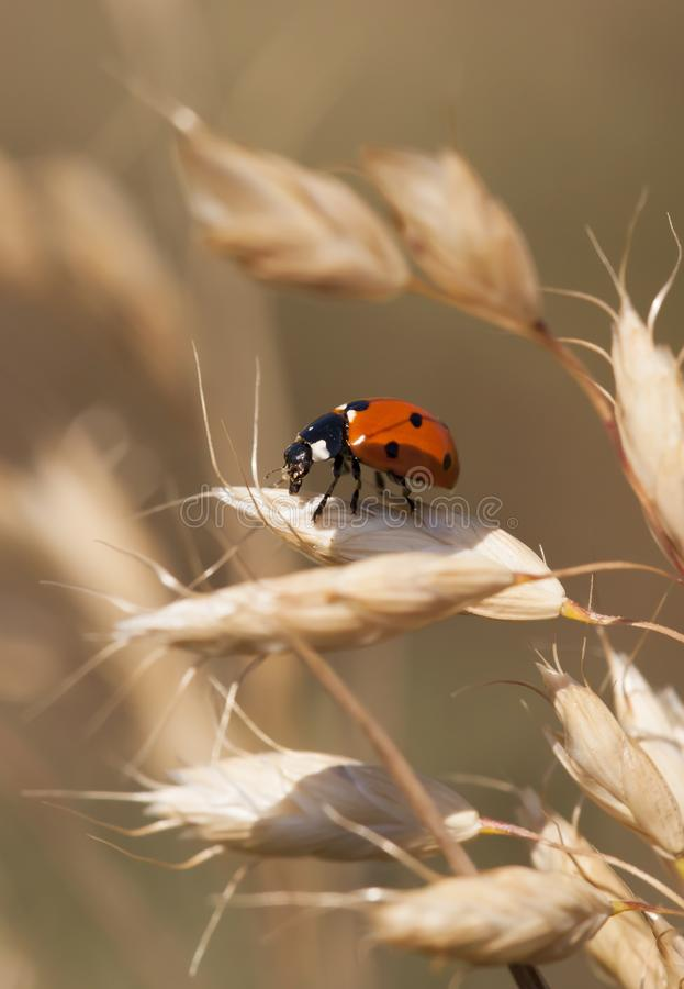 Ladybug in summer royalty free stock image