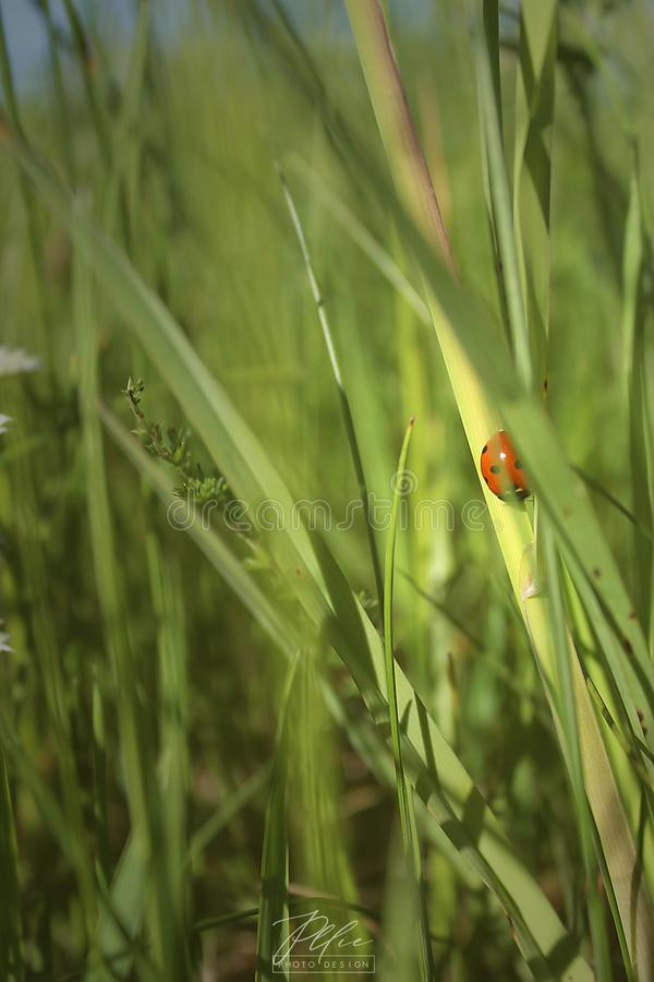 Ladybug in summer sound royalty free stock photography