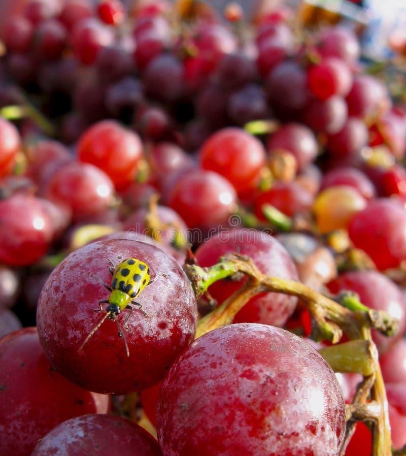 Free Ladybug Tasting Grapes Royalty Free Stock Photo - 18023535