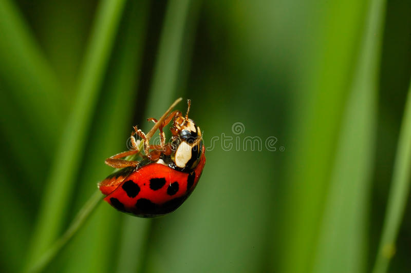 Download Ladybug Almost At The Top Stock Photos - Image: 13438413