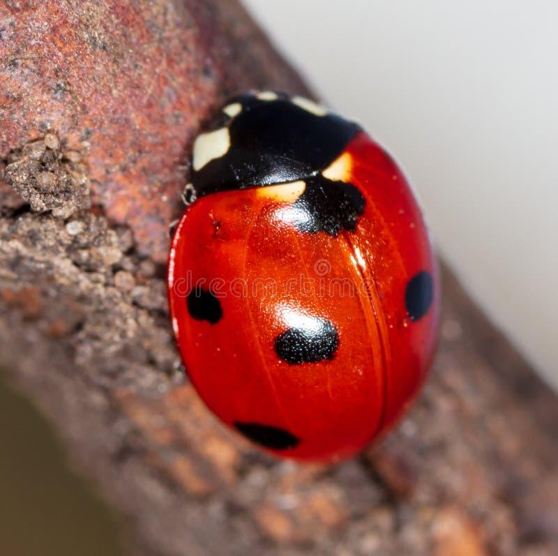 Ladybug on a tree branch stock photography