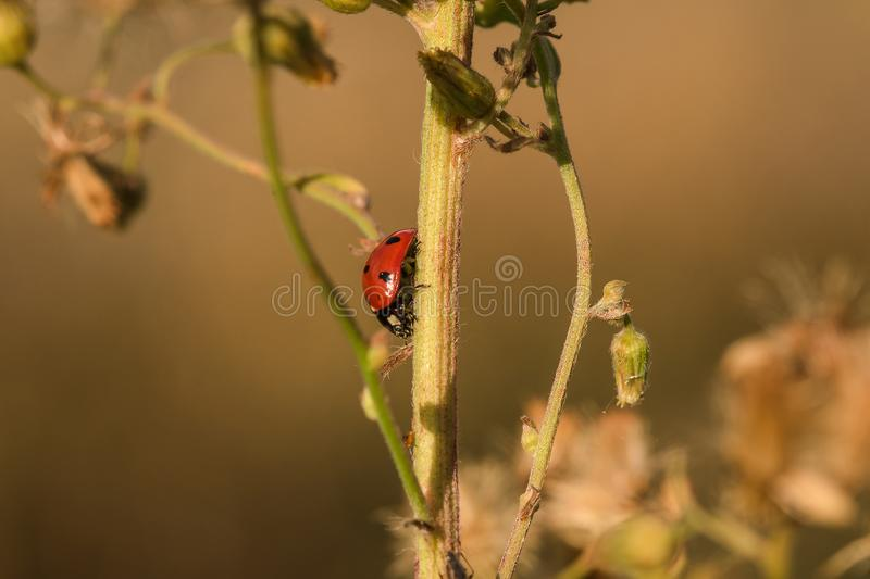 Ladybug on the tree is classified as a scarab Invertebrate stock photography