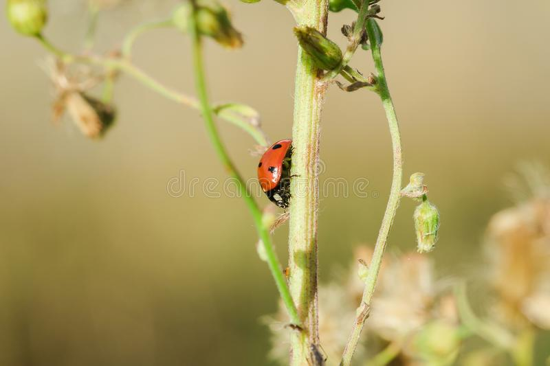 Ladybug on the tree is classified as a scarab Invertebrate royalty free stock image