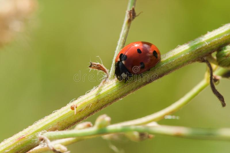 Ladybug on the tree is classified as a scarab Invertebrate stock photos