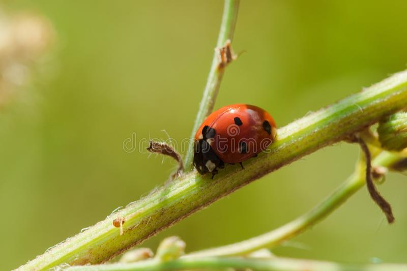 Ladybug on the tree is classified as a scarab Invertebrate stock image