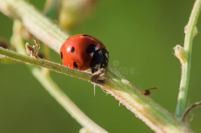 Ladybug on the tree is classified as a scarab Invertebrate stock photo