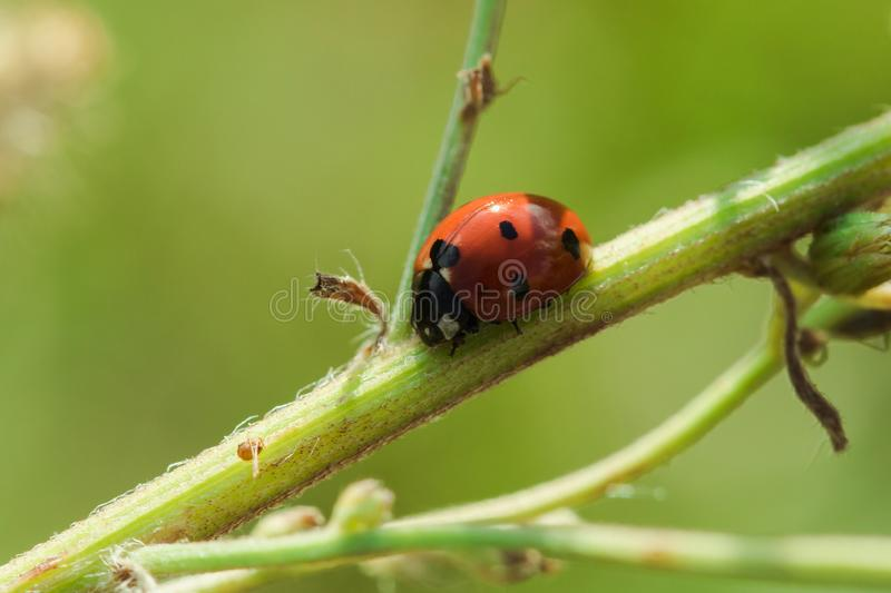 Ladybug on the tree is classified as a scarab Invertebrate royalty free stock photos
