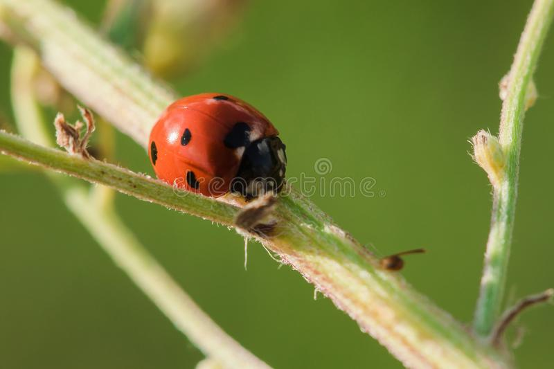 Ladybug on the tree is classified as a scarab Invertebrate royalty free stock photography