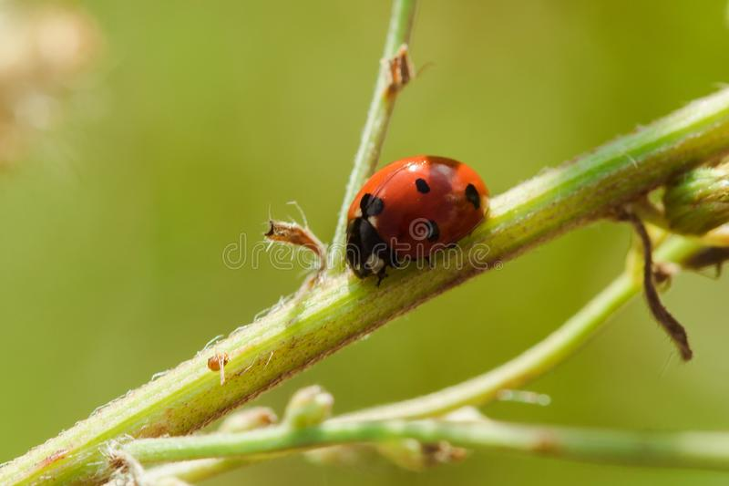 Ladybug on the tree is classified as a scarab Invertebrate royalty free stock images