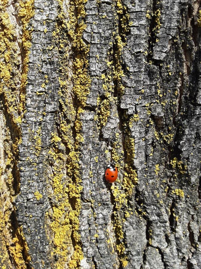Ladybug on a tree royalty free stock image