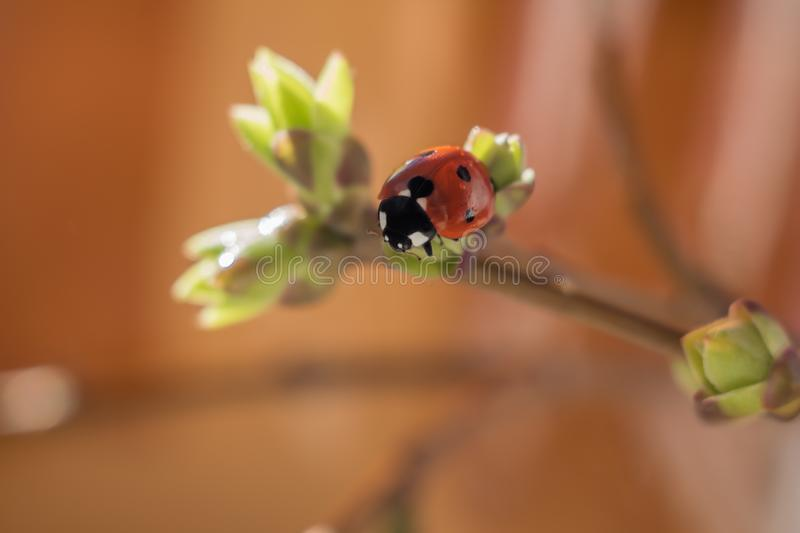 Ladybug on a twig with sprouted young leaves on an orange background stock image