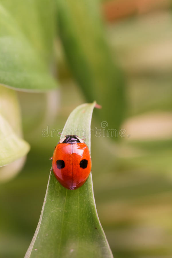 Ladybug with two dots sitting on a leaf. Ladybug (Coccinellidae ) with two dots sitting on a leaf royalty free stock photos