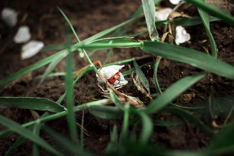 Ladybug under petals. Macro photography. Ladybug hid from a man in rose petals. Macro photography of insects and plants stock photo