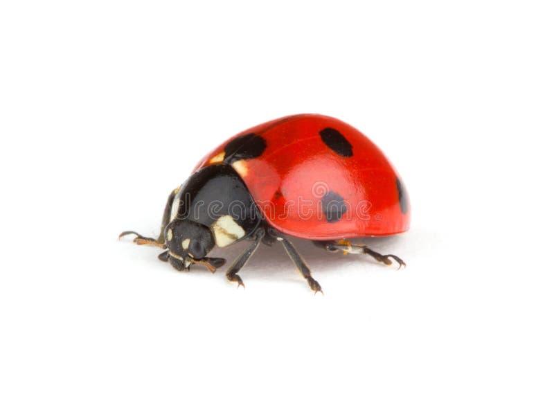 Ladybug vermelho foto de stock