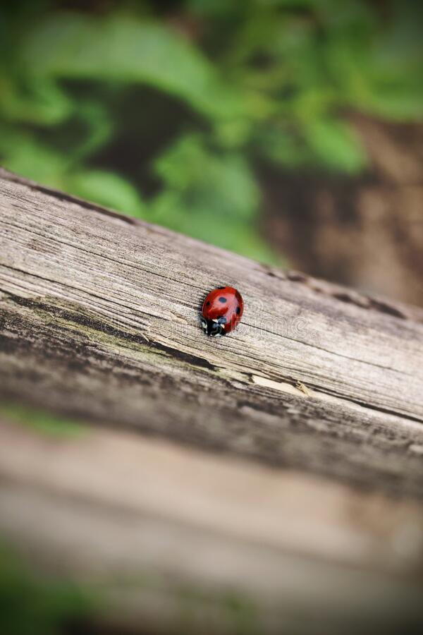 The ladybug is walking along weathered old wooden board, outgoing on green background, for wallpaper use. Soft focus concept. Ladybug Macro. Blurred royalty free stock image