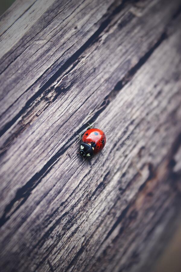 The ladybug is walking along weathered old wooden board, for wallpaper use. Soft focus concept. Ladybug Macro. Blurred.  royalty free stock images