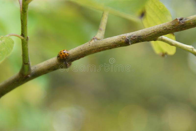 A ladybug walking on a branch - Close-up royalty free stock photos