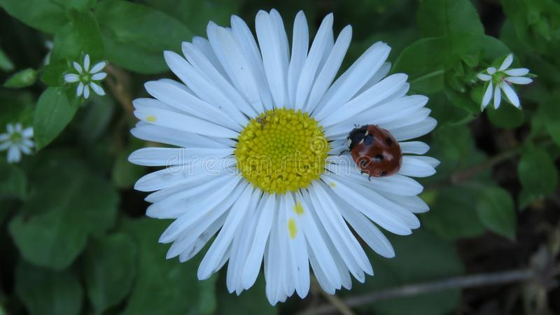Ladybug walking on a daisy flower stock image