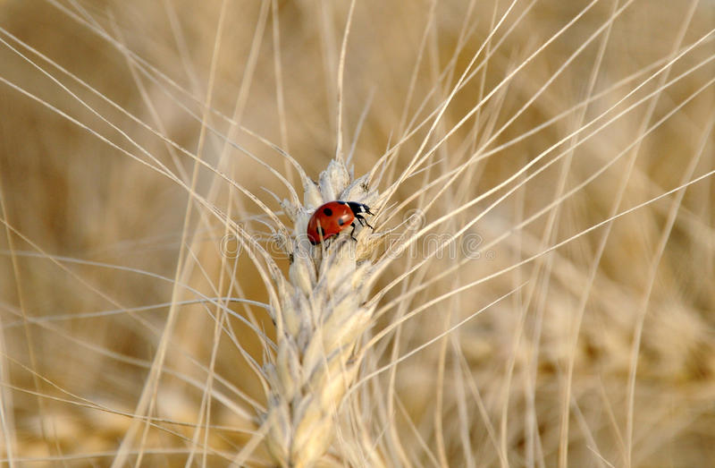 Ladybug On The Wheat Stalk Of Wheat Royalty Free Stock Image