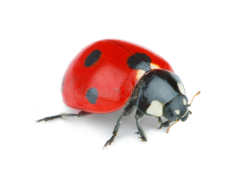 Ladybug on white background royalty free stock photo