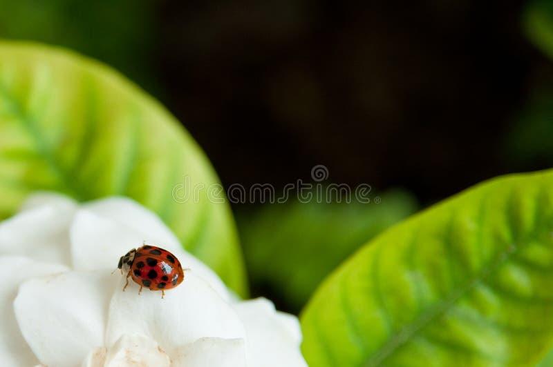 Ladybug On White Flower Royalty Free Stock Images