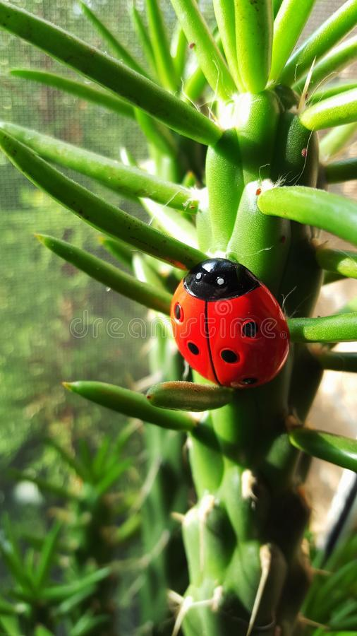 Ladybug in the woods royalty free stock photo