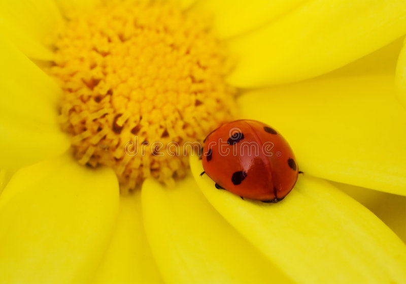 Download Ladybug on yellow flower stock image. Image of flower - 1310605