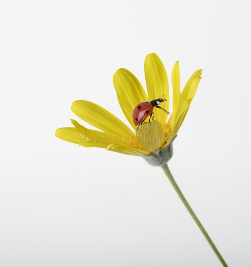 Download Ladybug on Yellow flower stock photo. Image of insect - 14014208