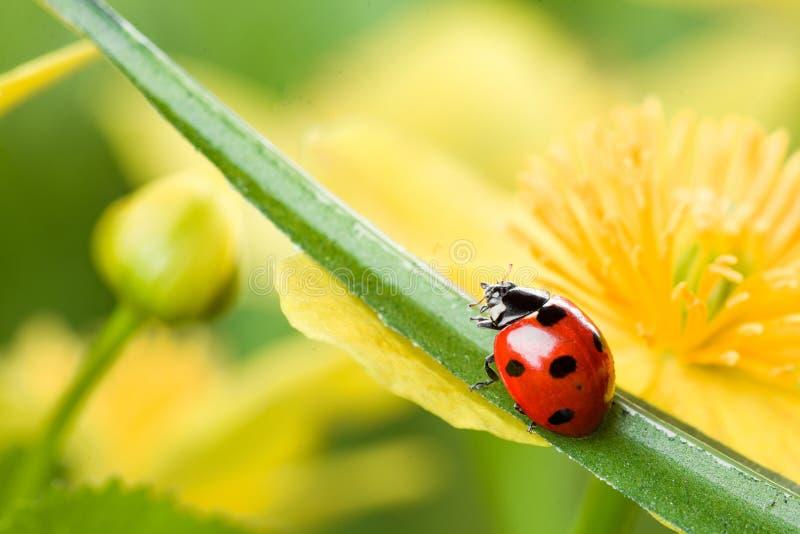 Ladybug on yellow flower royalty free stock image