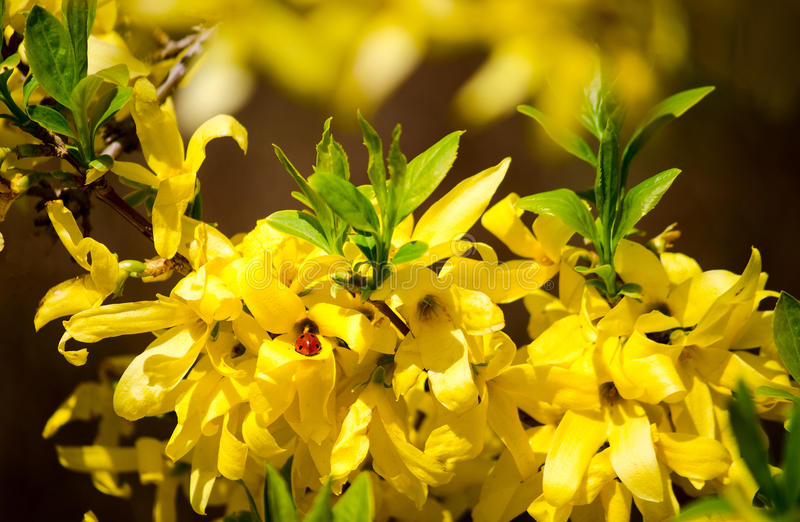 Ladybug in yellow leaves on Forsythia closeup. Bright spring nature. royalty free stock images