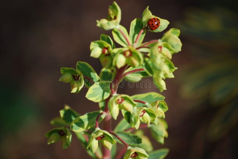 Ladybugplant3 zdjęcie royalty free