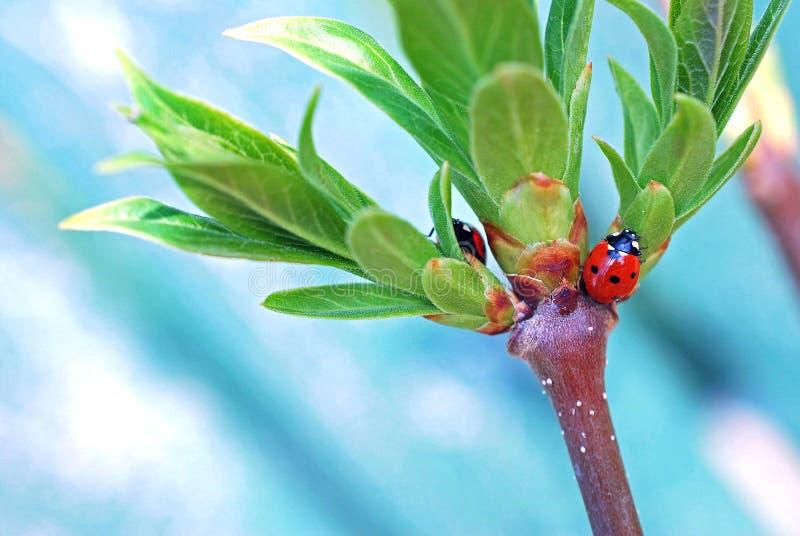 Ladybugs την άνοιξη στοκ εικόνες