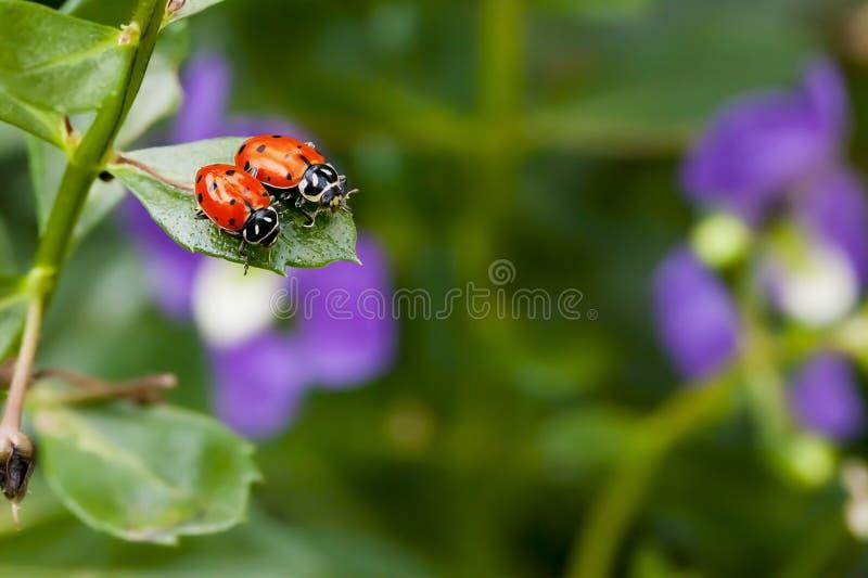 2 Ladybugs на лист стоковые изображения