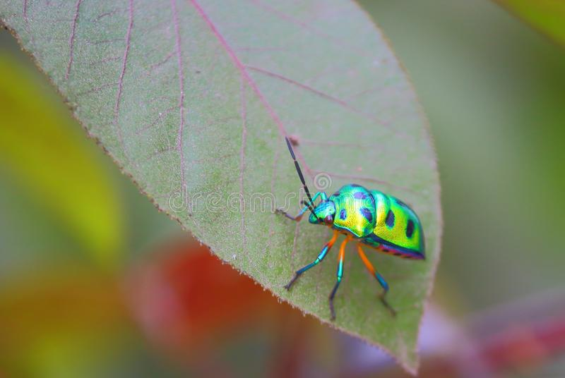 ladybugs stock foto