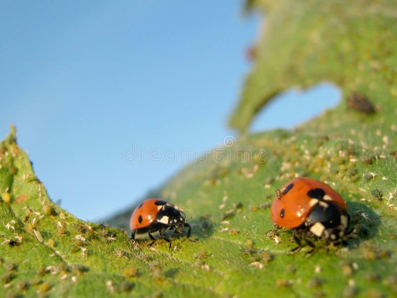 Ladybugs. The ladybugs are eating greenfly on a leaf stock image