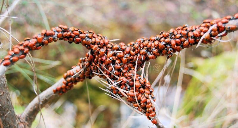 ladybugs стоковые фотографии rf