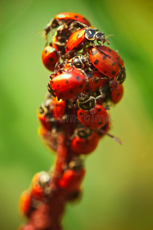 Download Ladybugs stock photo. Image of nature, insect, group - 14285066