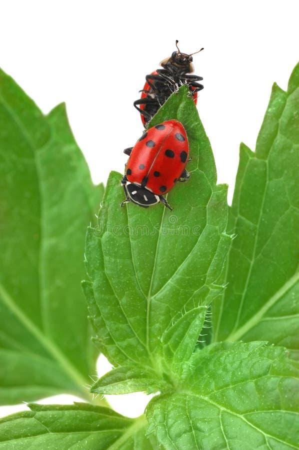 Ladybugs fotografie stock