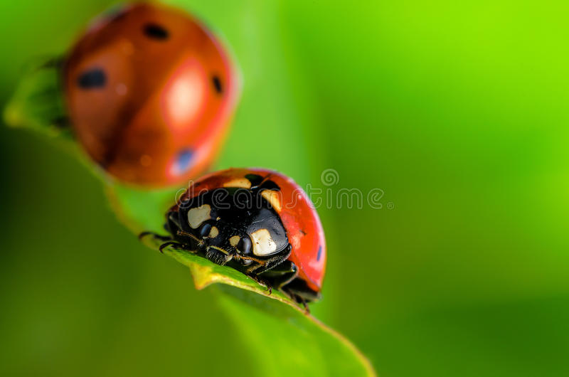 Download Ladybugs stock image. Image of flowers, caricature, graphic - 26398823