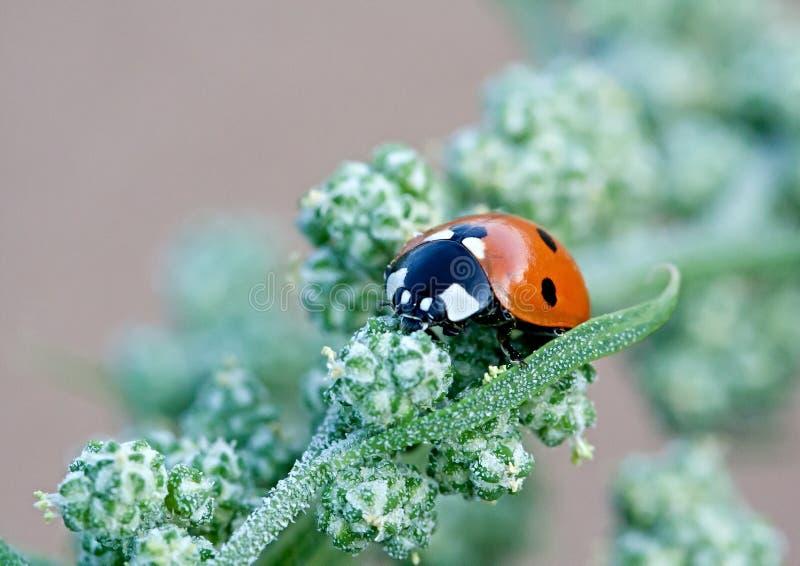 ladybugs стоковые фото