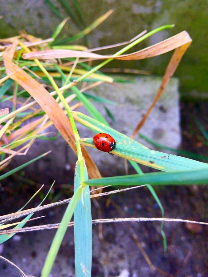 ladybugs стоковые изображения rf