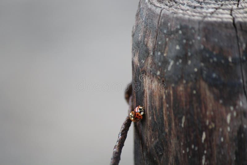 ladybugs стоковая фотография