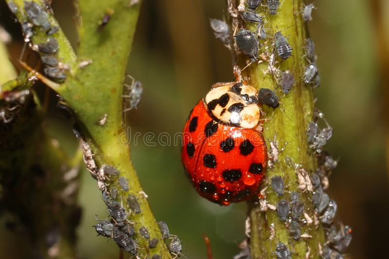 Ladybugs and Aphids, how to get rid of garden and greenhouse pests with lady beetles in Organic methods. How to get rid of green flies or green lice in garden royalty free stock photo