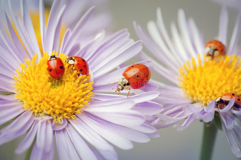 Ladybugs on a camomile royalty free stock images